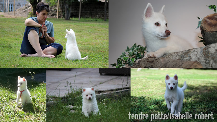 ARYA,   premier chien Alaskan Klee Kai médiateur en France